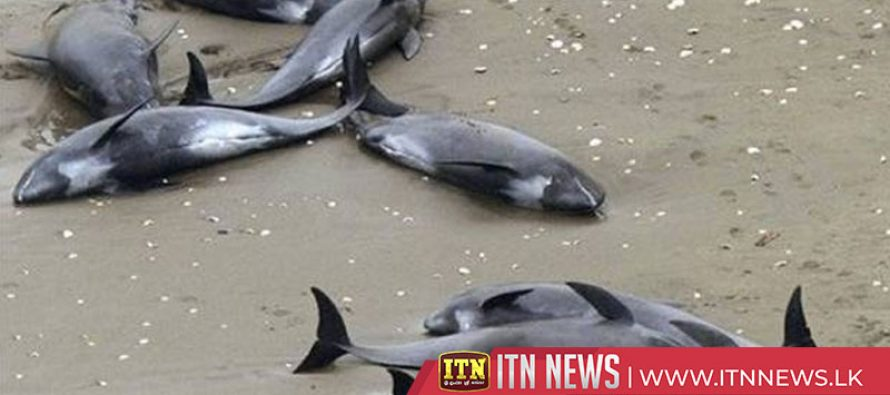 Two stranded dolphins rescued in Chile
