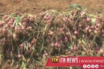 A successful big onion harvest from the Polonnaruwa district