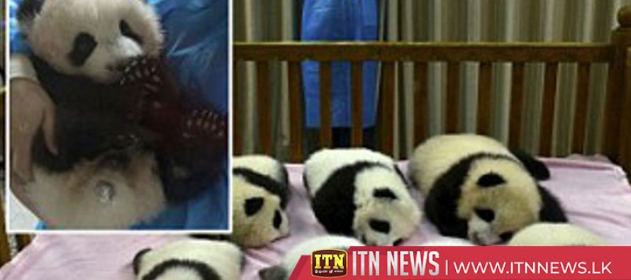 Chinese cafe owner turns his dogs into pandas to draw in the crowds