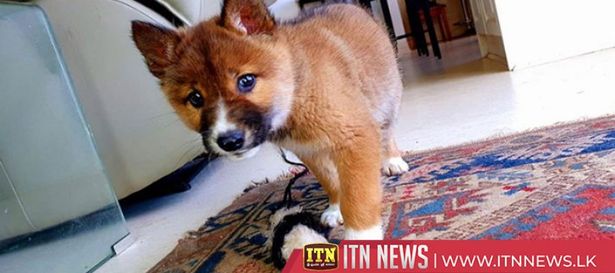 DNA tests reveal abandoned puppy to be rare Australian dingo