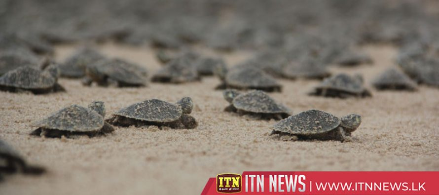 Thousands of baby turtles released into Peruvian Amazon river