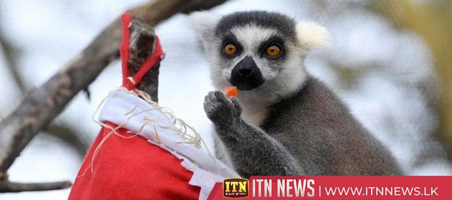 Lemurs devour Christmas treats at London Zoo