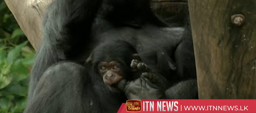 Baby chimpanzee steps out into the world at Sao Paulo zoo