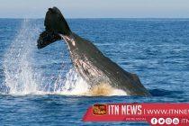 Rare sighting of sperm whales off California coast