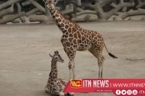 My what a big baby you have! Mexico zoo welcomes giraffe calf