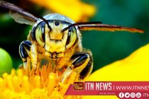 Sunflower sanctuary, hope for bees in southern Mexico