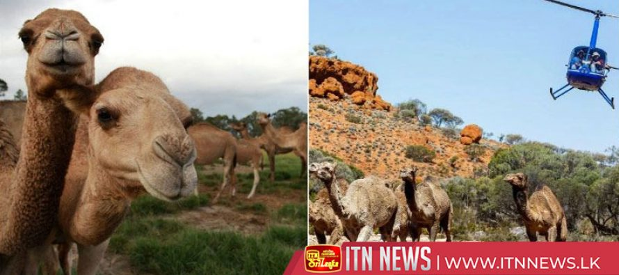 Australia to cull thousands of camels