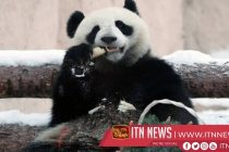 Giant pandas Ru Yi and Ding Ding receive awards in Moscow