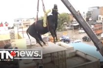 A load of bull! Crane used to rescue bovine that climbed three-storey building in India