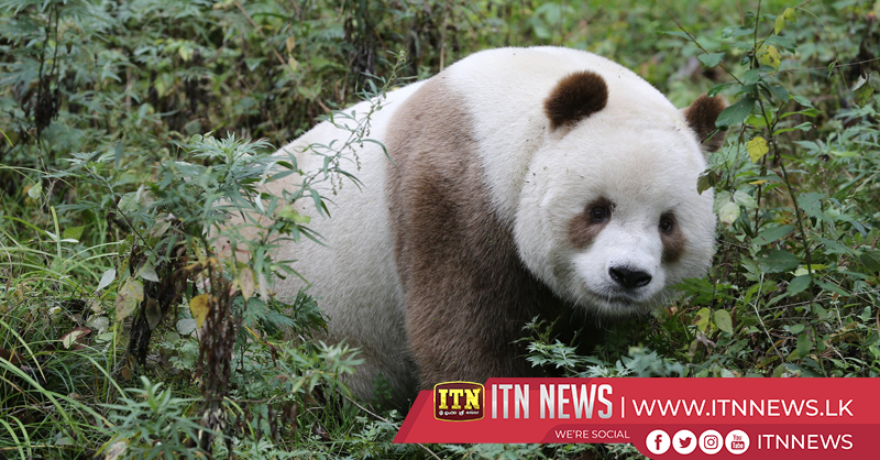 China sets up Qinling giant panda research center