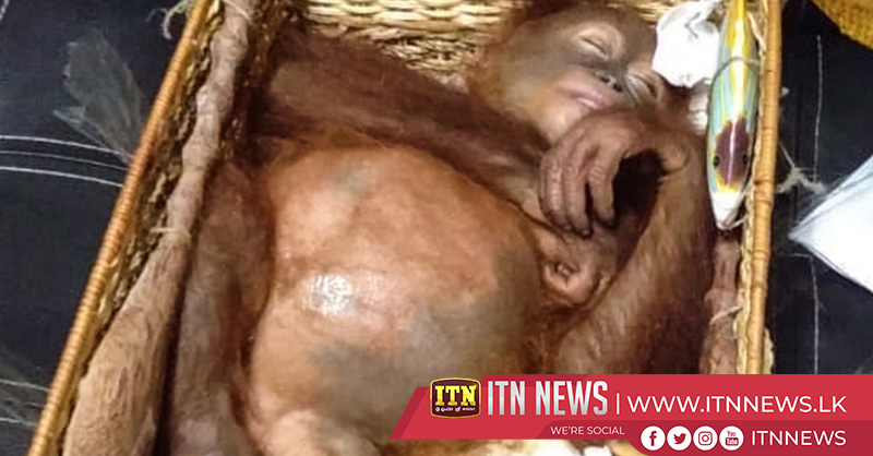 Endangered baby orang-utan saved from Russian smuggler by Indonesian authority