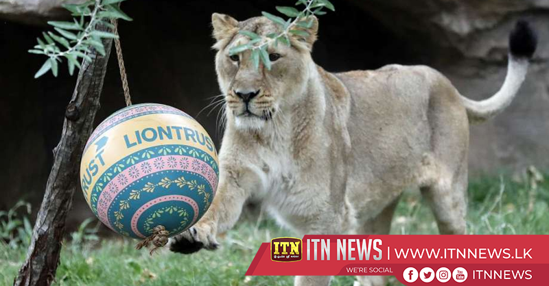 Life's a ball for London Zoo leos on World Lion Day