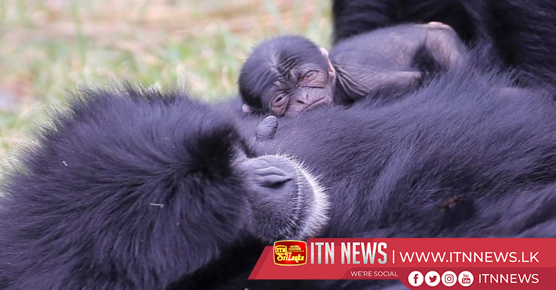 Newborn siamang transfixes zoo visitors