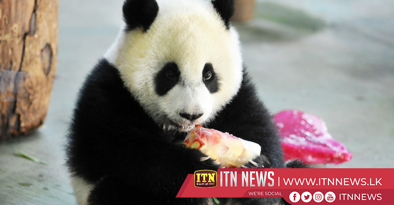 Thousands fans celebrate birthday of internet celebrity panda in northeast China