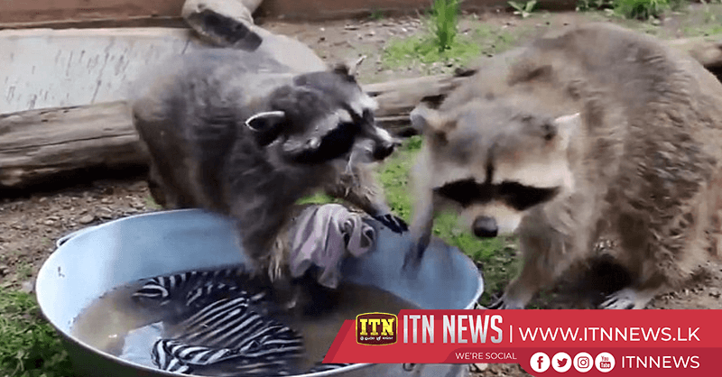 Puppy parents baby raccoon in Siberian zoo