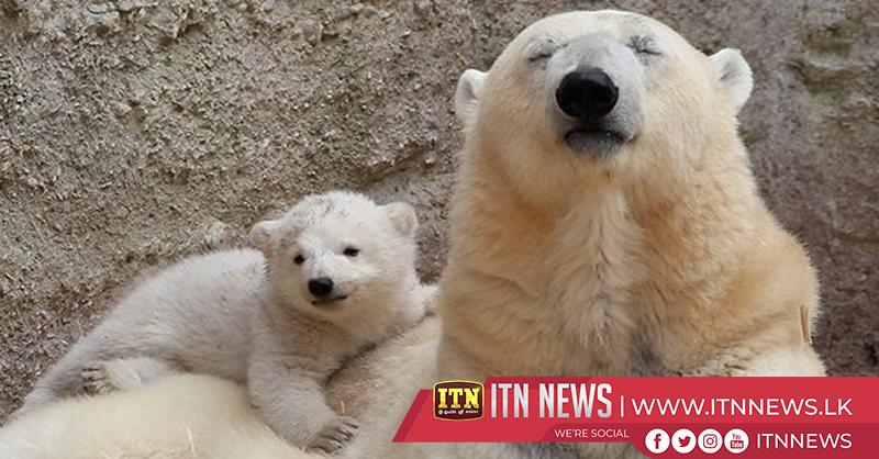 Twin polar bear cubs debut at Russian zoo