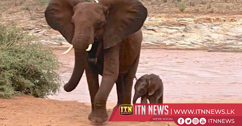 Baby elephants learn to ride with the herd