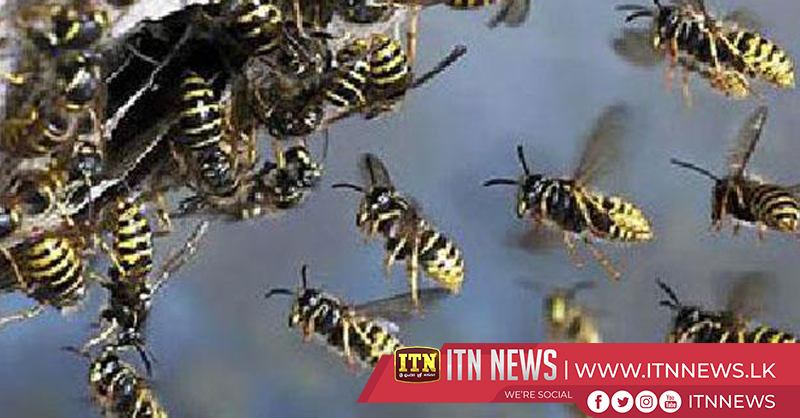 50 injured in wasp attack