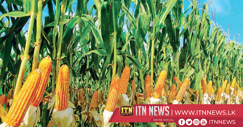 Maha season records biggest maize harvest