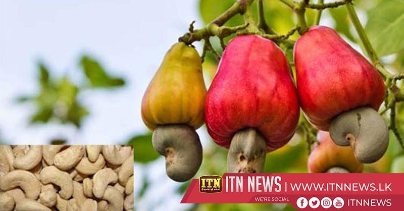 முல்லைத்தீவு மாவட்டத்தில் மர முந்திரிகைச் செய்கை பாதிப்பு