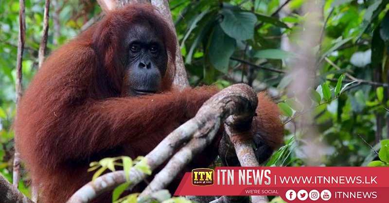 Star-spotting tech helps count endangered orangutans