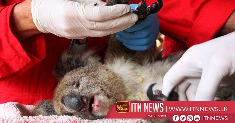 Save the koalas: two Australian volunteers on a mission