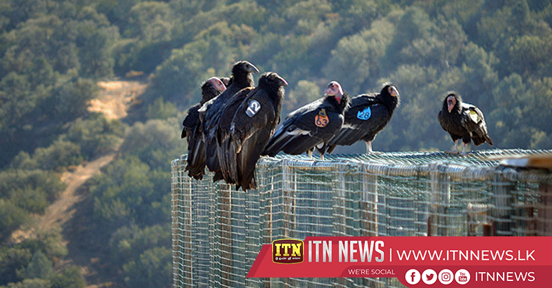 California condor chick numbers on rise thanks to innovative procedure