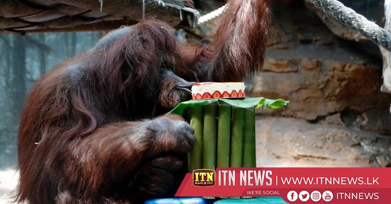 Orangutan Nenette celebrates 50th birthday