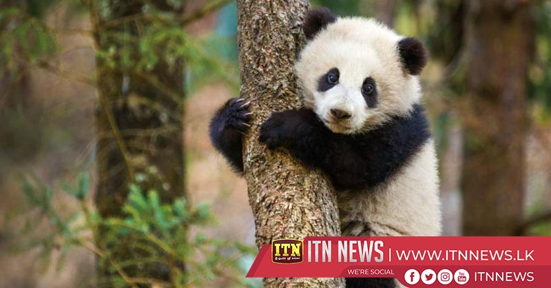 Four giant pandas settle down in China's plateau city