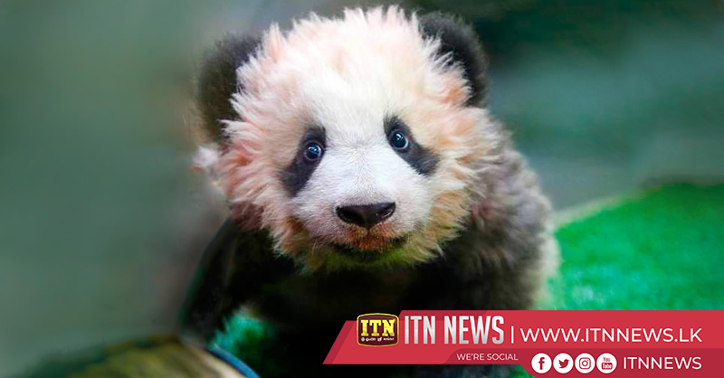 Shanghai zoo solicits name for 10-month-old baby panda