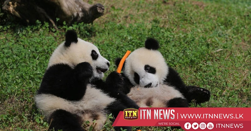 Stable populations allow giant panda cubs in Chengdu to spend more time with mom
