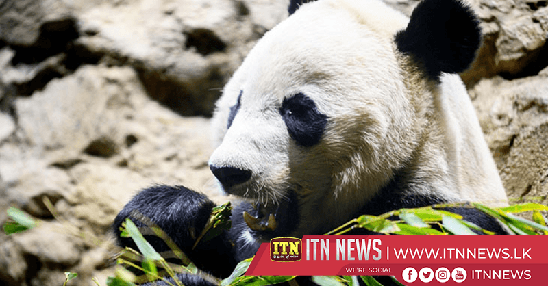 Giant Panda Bei Bei resting up for big trip to China