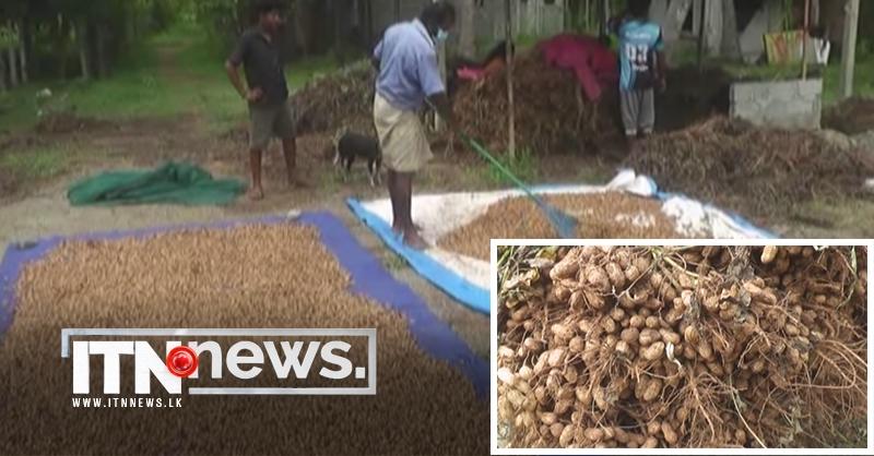 வட மாகாணத்தில் நிலக்கடலை செய்கையின் மூலம் சிறந்த அறுவடை